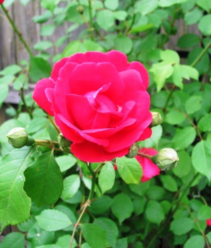 Climbing rose up close.