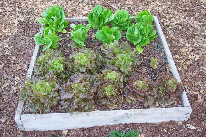 Romaine and Red Sails Lettuce April 10, 2013