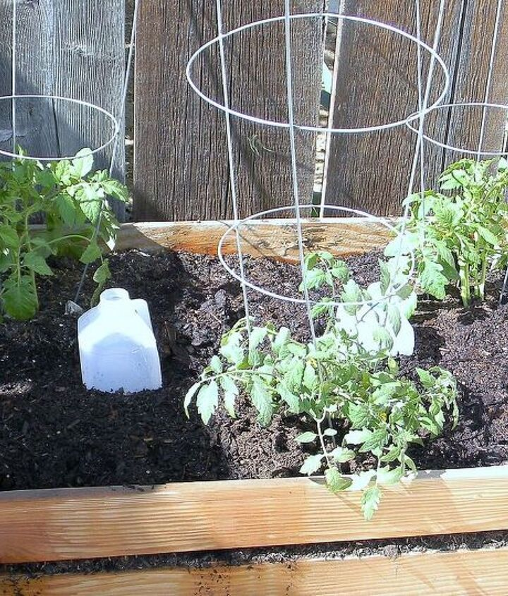 Trench planted tomato plants with slow watering upcycled milk jugs.