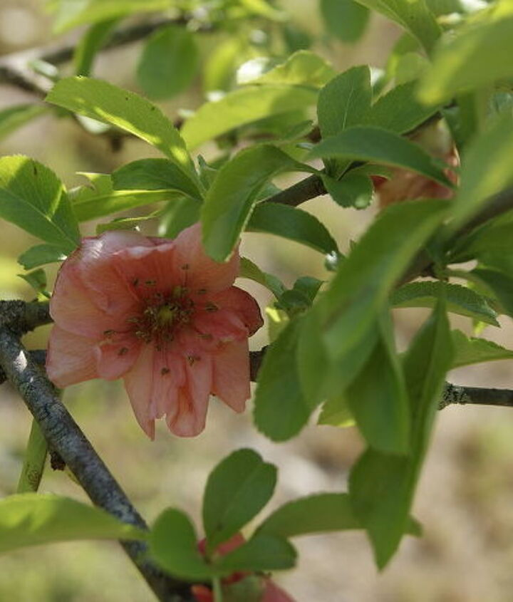 Quince   i moved this its in shock