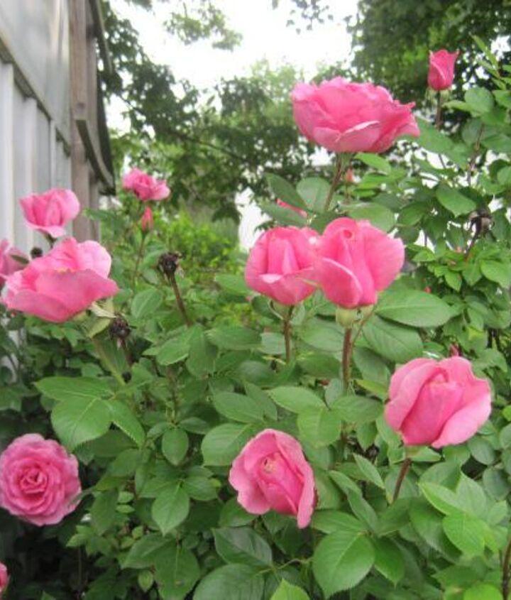 Buck rose
