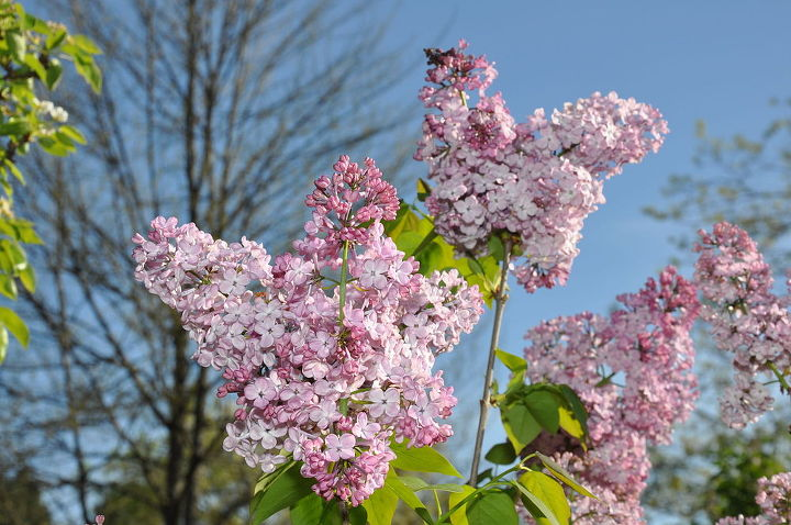 it s lilac time they come in all colors, gardening