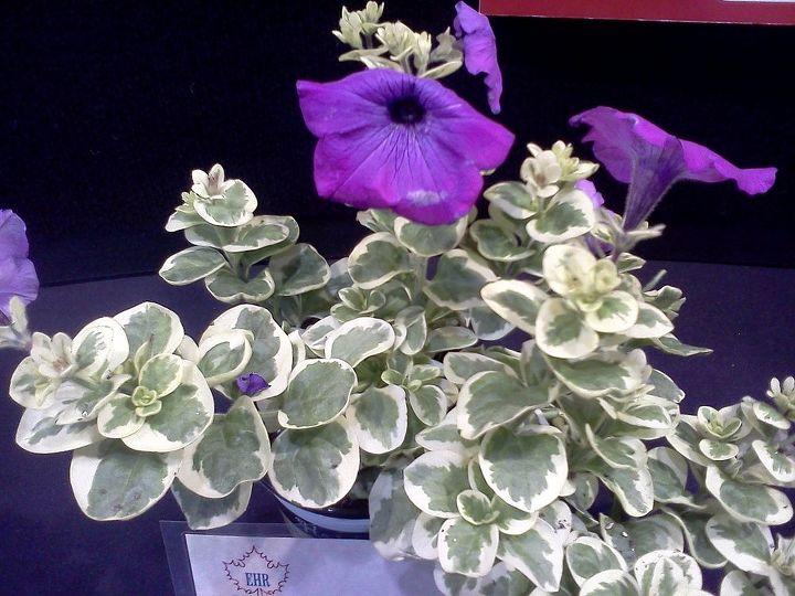 Variegated leaf petunia
