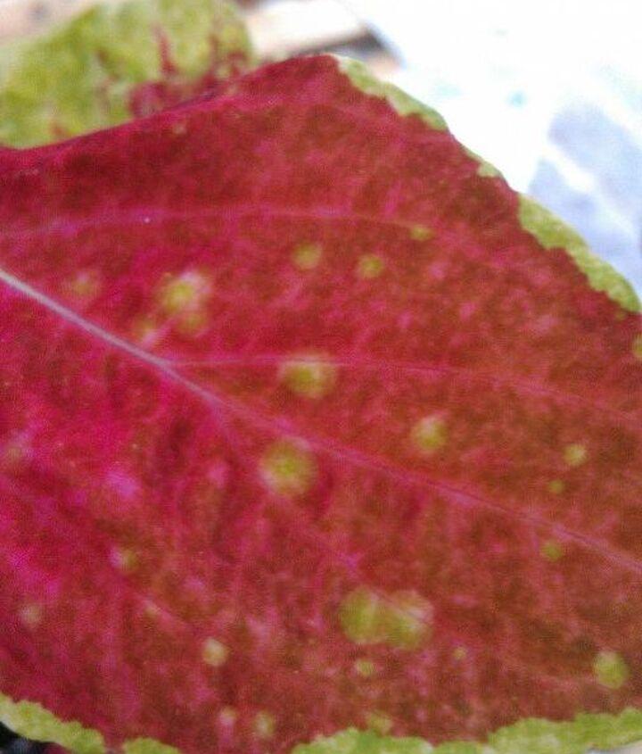 what s ailing my coleus, gardening
