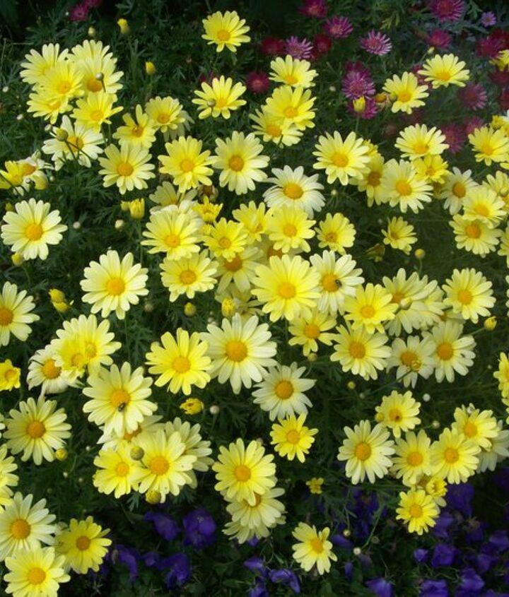 Favorite annuals:  Marguerite daisies.