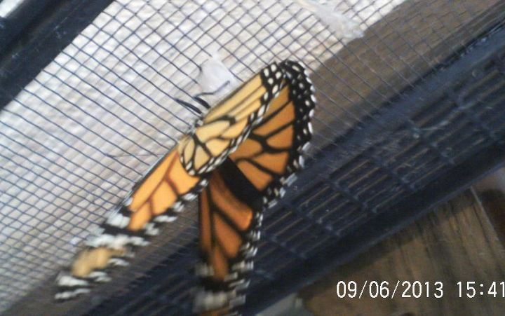 lonely day for the flowers, flowers, gardening, Another Monarch has emerged