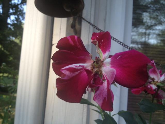 a rose what type, gardening