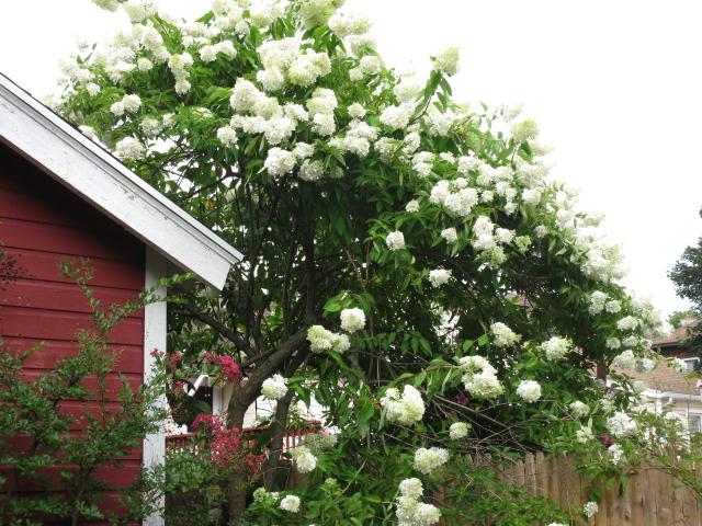 hydrangea any one, flowers, gardening, hydrangea
