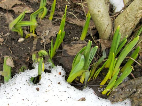 Narcissus still to bloom.