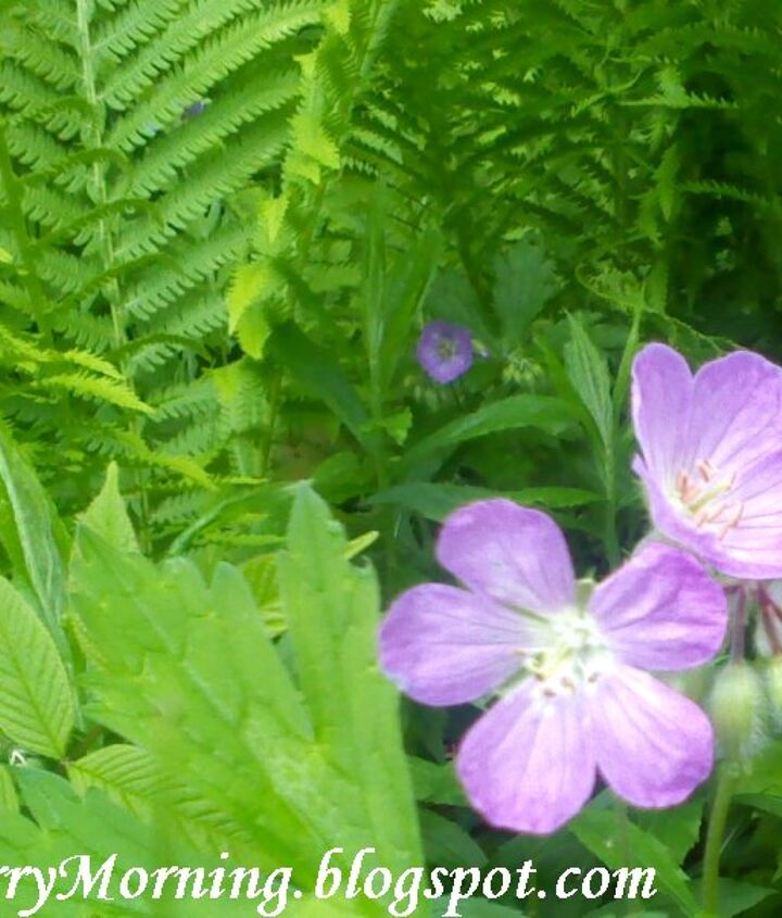 Wild fern and wild geranium growing in ditch on nearby country road