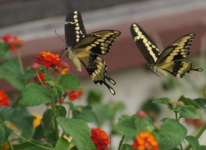 butterflies amp lantana, gardening, pets animals, Swallow Tail Butterfly