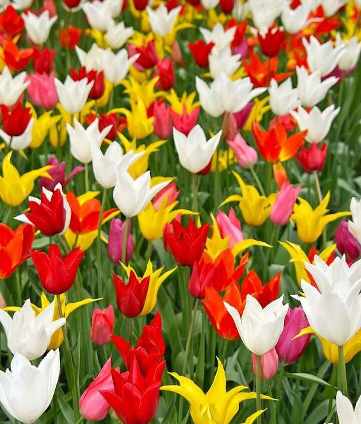 I had no Idea that there were so many sizes and shapes of tulips.