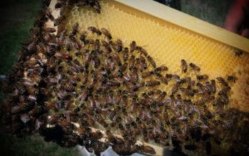 should you become a beekeeper, pets animals, If you look real close in the left side you can see the marked queen bee with the red dot on her back
