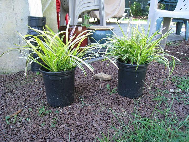 planning a shade garden, flowers, gardening, lilyturf varegata before being planted