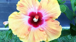 beautiful flowers, flowers, gardening, Here s My Hibiscus in Florida
