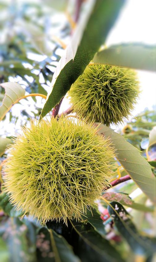 chestnut, gardening