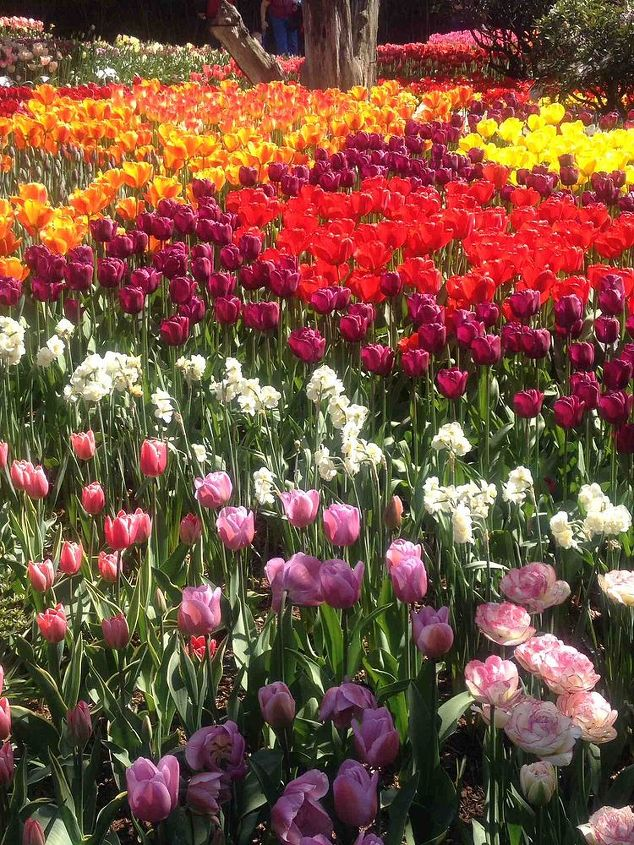 a magical visit to the skagit valley tulip festival, gardening