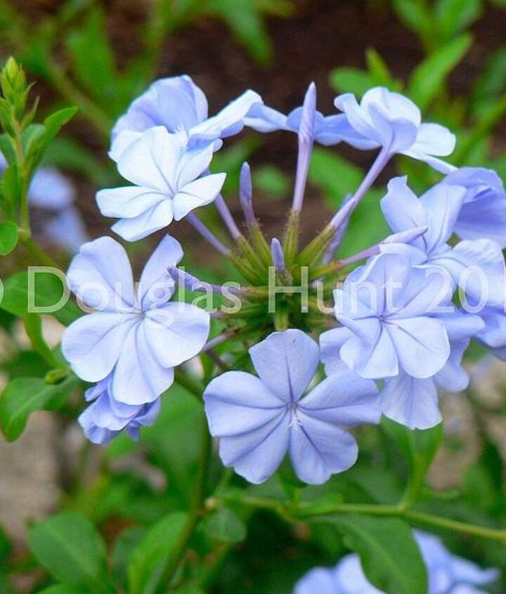 Plumbago auriculata is one of the rare real true blues for the garden. (Hardy to zone 8B.)