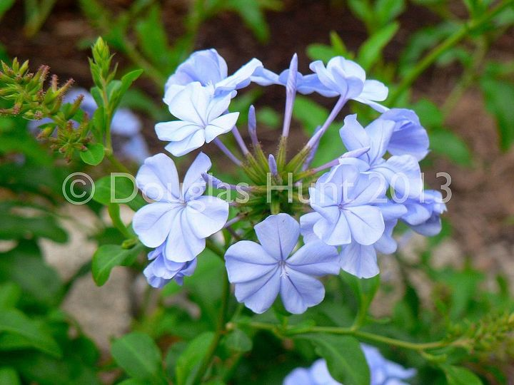 my garden s got the blues and purples, gardening, Plumbago auriculata is one of the rare real true blues for the garden Hardy to zone 8B