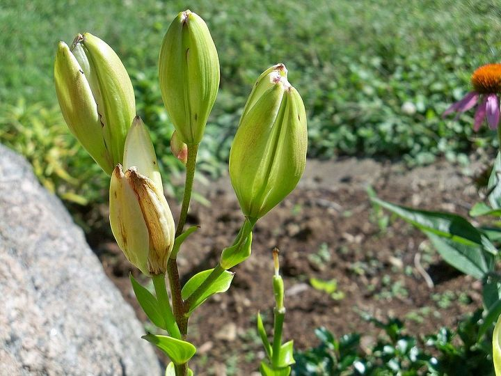 i have difficulty with asian lilies, gardening, These buds open slightly and they are empty and then they dry up