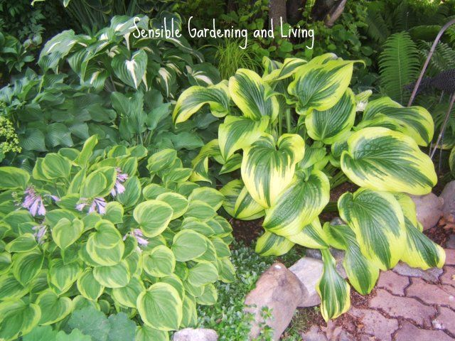 Hosta come in a variety of sizes, colours and leaf textures.