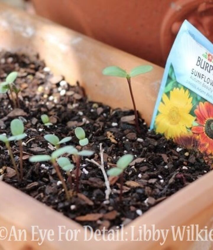 sunflower seeds, container gardening, gardening