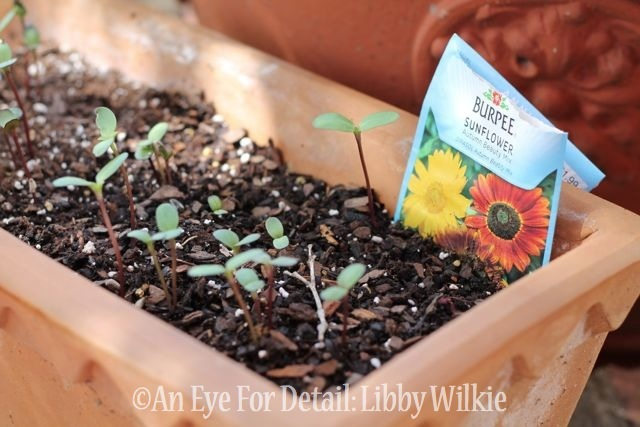 sunflower seeds, container gardening, gardening