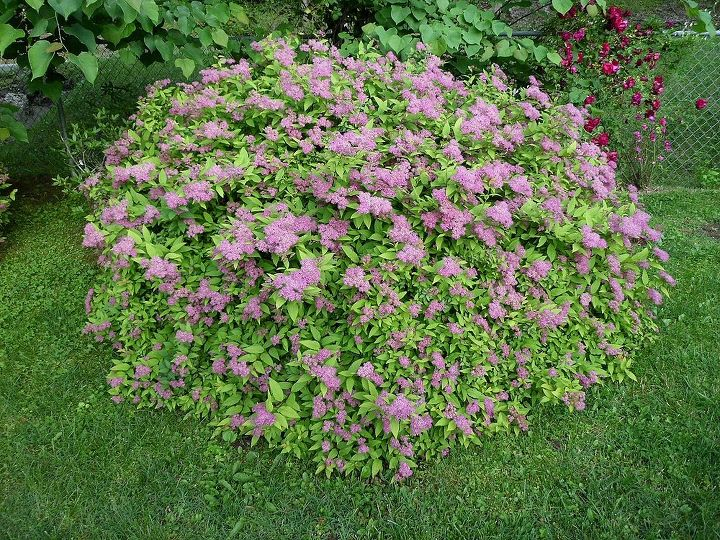 a goldflame spirea, gardening