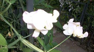 identity crisis, flowers, gardening, sweet pea