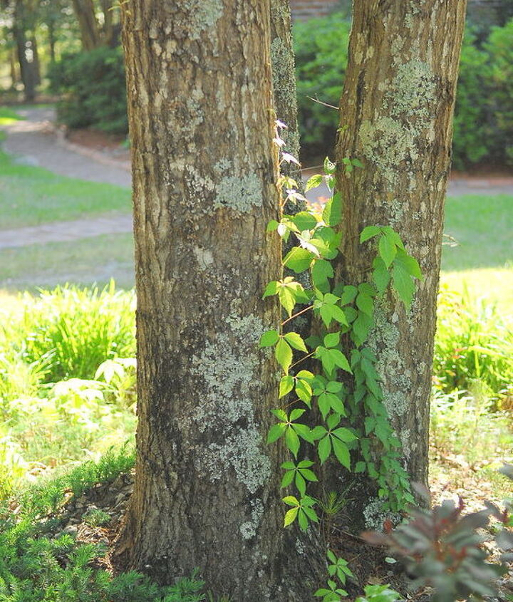 is this poison ivy or poison oak, gardening