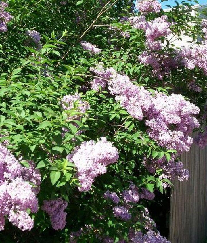 lilic tree