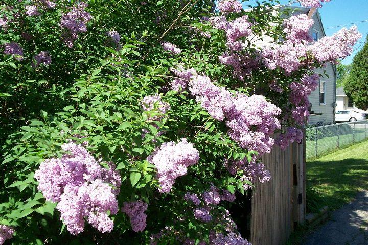 q flowers i have, flowers, gardening, lilic tree