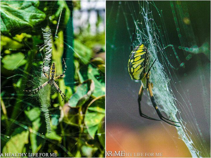 argiope spider, gardening, pest control, Argiope Spider