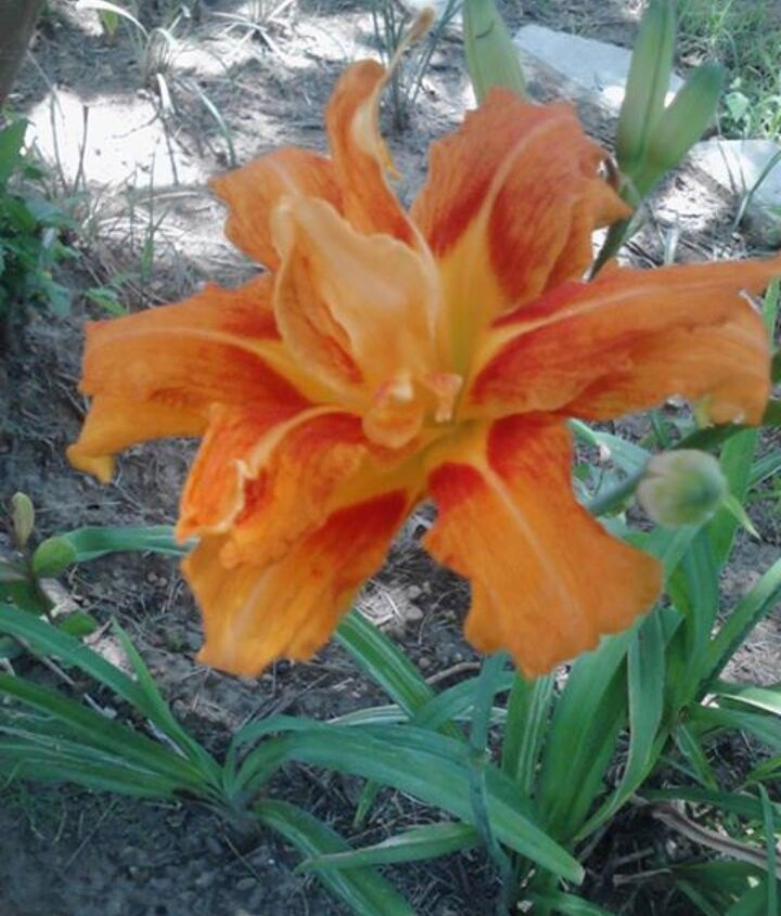 I dont believe it is a daylilly. he said it grows like the one I showed him before it blooms.