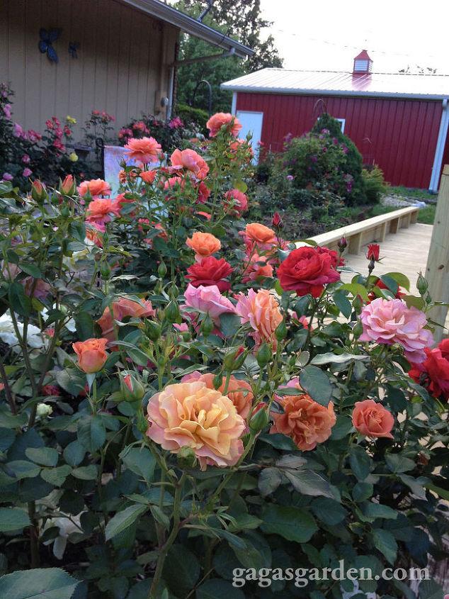 Spring Rose Garden Bloom 2013