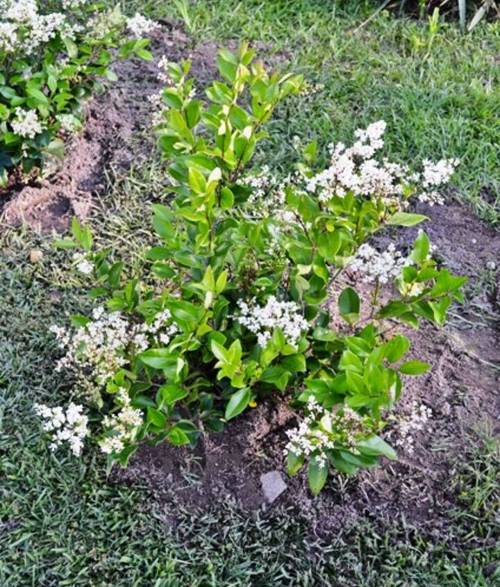 They bear white flowers in late spring that are magnets for bees.