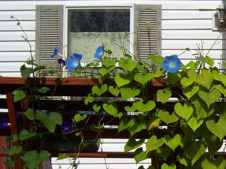 morning glories, gardening