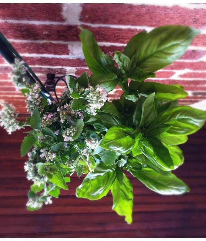 1. Basil. Helps repel thrips, flies and mosquitos. Excellent companion for tomatoes and peppers.
