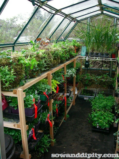 growing in a greenhouse, diy, flowers, gardening, how to, perennial, Moss baskets growing on top shelf and flats of annuals flagged for clients