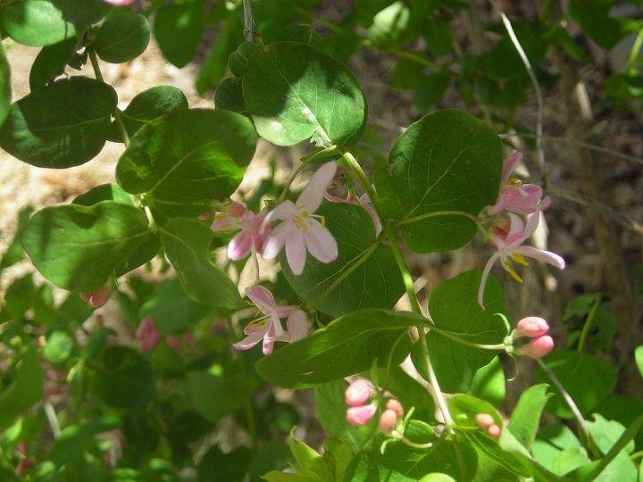 Same bush, following Spring April