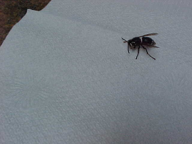 does anyone know what kind of bees these are, pets animals