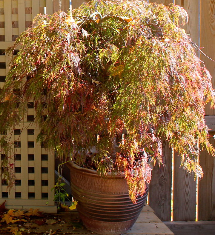 Tuck away any potted perennials or small trees like this Japanese maple into the garage wrapped in a thermal blanket to protect the pot from cracking.