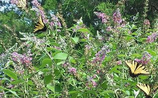 more butterfly garden pics, gardening, pets animals