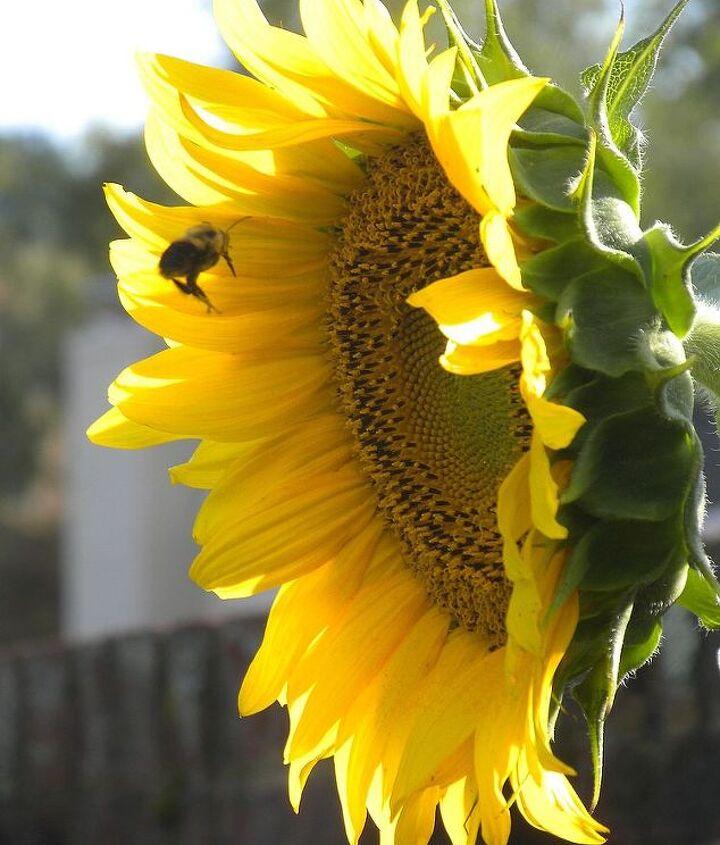 Sunflower (mid-July)