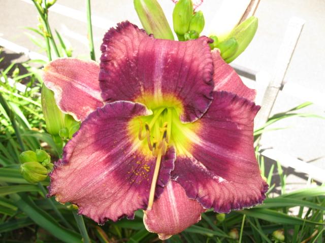 darling lilies, gardening