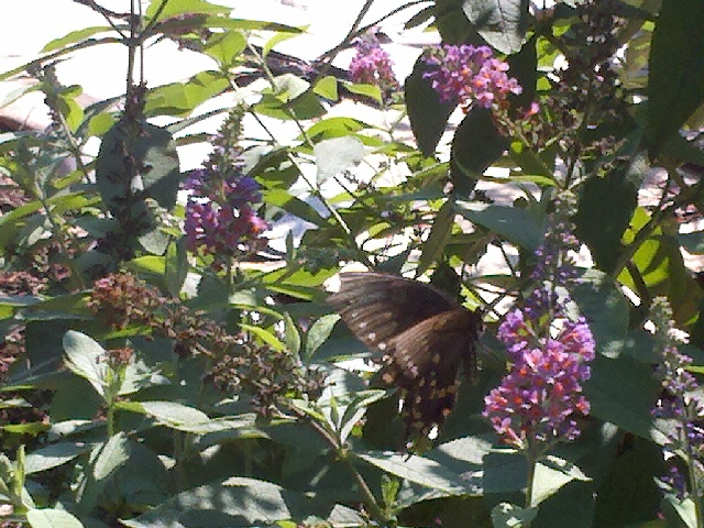 butterfly bushes bringing many butterflies, gardening, pets animals, One of two types of Butterflies seen arounf the garden