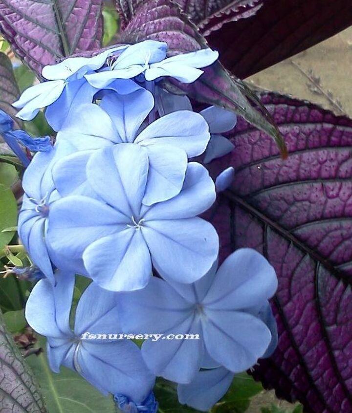 Strobilanthus (Persian Shield)  and  Blue Plumbago
