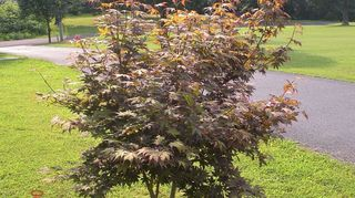 planting seeds, flowers, gardening, My friend gave me a start of her Japanese Maple It s growing slowly but at least it s still growing Thank you God