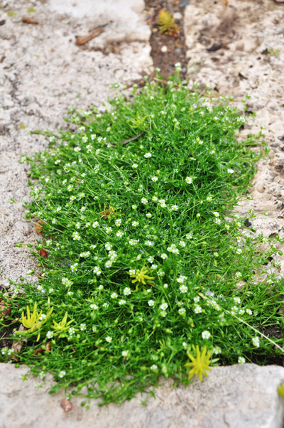 This is a close up of a healthy clump of Irish Moss in bloom.