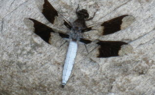 dragonfly, gardening